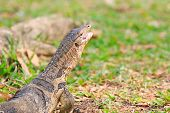 pic of salvation  - close up face of Water monitor Varanus salvator open mouth and lying on green grass field - JPG