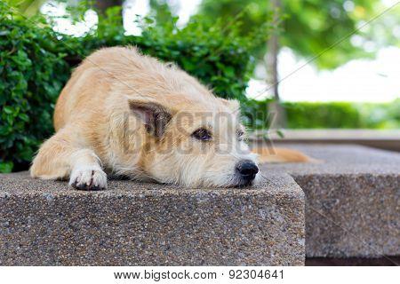 Brown Dog Looking Away