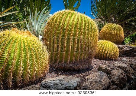 Large round cactuses