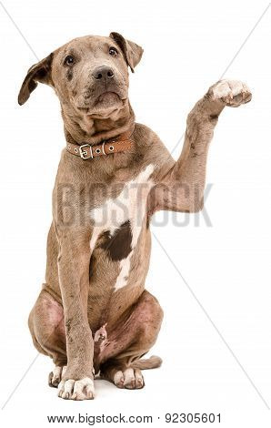 Pit bull puppy sitting with a raised paw