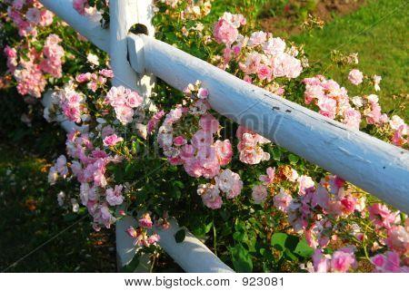 Cerca de rosas rosadas