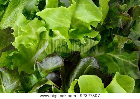 Green Oak, Red Oak And Frillies Iceberg Lettuce Leaves Background
