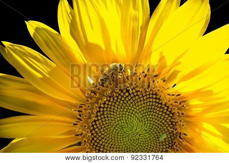 Sunflower backlit with bee impollination on a black background