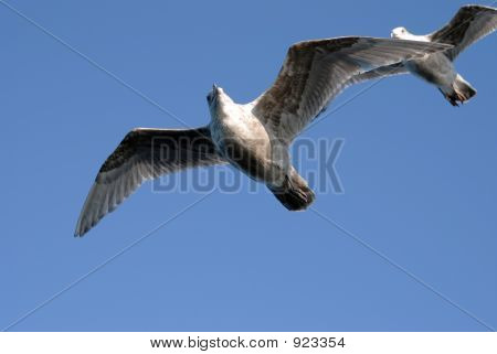 Gull With Wingman