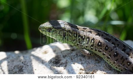 lizard basking on a stone.