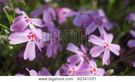 Purple lilac flowers as a background