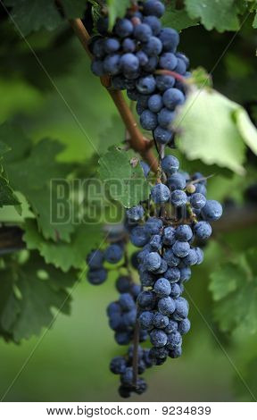 Concord Grape Close-up