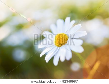 Daisy Flower With Lens Flare. Snapshot With Shallow Depth Of Field.