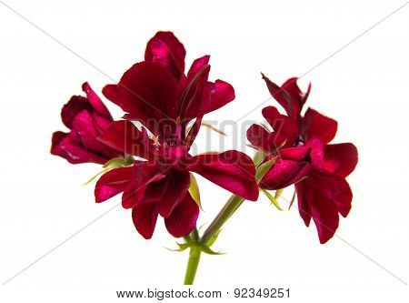 Dear Red Pelargonium