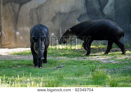 Lowland Tapirs