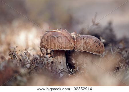 Cepes Grow In A Reindeer Lichen.