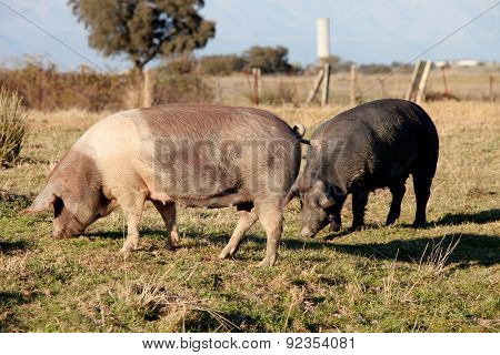 Iberian pig in the field of Extremadura, Spain.