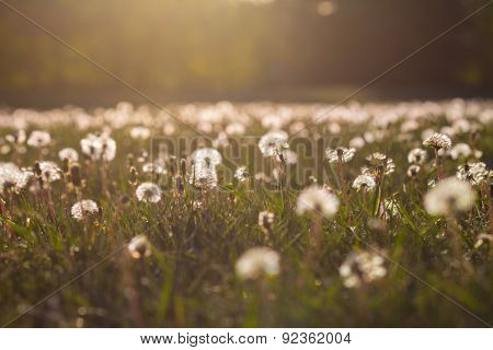 Field With Dandelion Seed Heads In The Sunshine