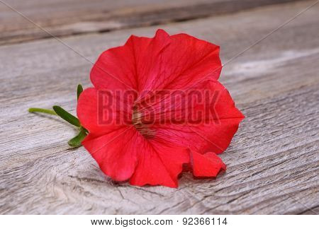 petunia on wooden background