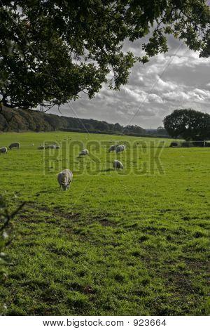 Sheep On Farmland, Wirral, England