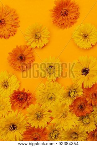 Freshly picked medicinal calendula or marigold flowers arranged on orange background