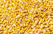 picture of corn  - Grains of a ripe corn husked from corn cob - JPG