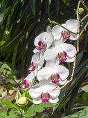 picture of moth  - Chaplet of white moth orchid flowers  - JPG