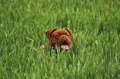 foto of dogue de bordeaux  - Dogue de Bordeaux puppy playing in green field - JPG