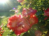 foto of wane  - red roses in waning blossom baclit with sunlight filtering past their petals - JPG