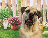 pic of working-dogs  - The Boerboel is a large Molosser-type breed from South Africa, bred for the purpose of guarding the homestead. These dogs were bred as working farm dogs.