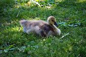 stock photo of baby goose  - A juvenile canada goose  - JPG