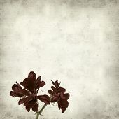 picture of geranium  - textured old paper background with dark red geranium - JPG