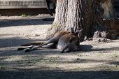 stock photo of kangaroo  - A western gray kangaroo  - JPG