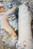 stock photo of united we stand  - Burrowing Owl stand on the tree hole - JPG