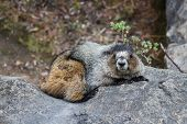 stock photo of marmot  - a marmot lying on a stone looking into camera - JPG