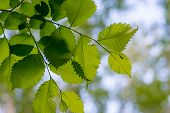 picture of alder-tree  - leaves of alder with green and blue blured background - JPG