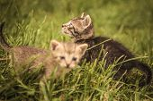 foto of baby cat  - two small baby cats in the grass - JPG