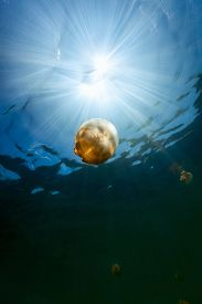 picture of jellyfish  - Underwater photo of endemic golden jellyfish in lake at Palau - JPG
