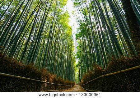 Path through the lush green forest of giant bamboo in Arashiyama in Kyoto, Japan