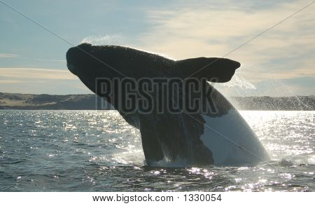 Patagonian Whale Jumping