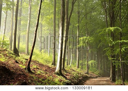 Spring beech forest in the morning. Poland.