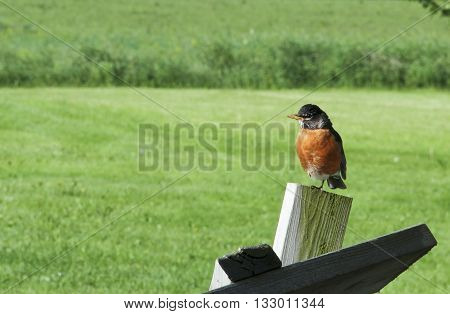 Robin perched on a post with a green grass meadow in the background