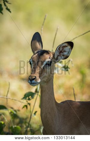 Close-up Of Female Impala In Dappled Sunlight