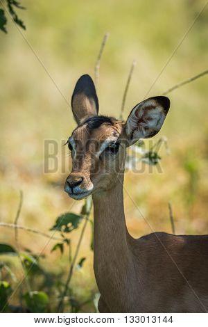Close-up Of Female Impala In Dappled Sunlight