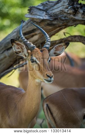 Close-up Of Impala Under Branch Facing Camera
