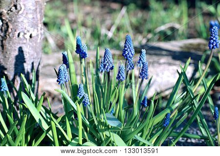Many blue muscari flowers on a sunny day in early spring