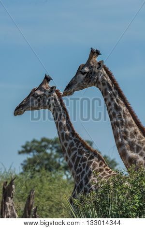Close-up Of Two Giraffe Side-by-side Above Trees