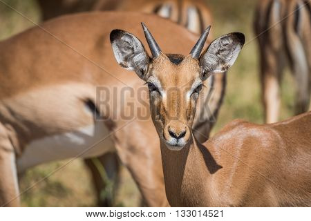 Close-up Of Young Male Impala Facing Camera