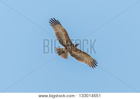 Crowned Eagle Flying Overhead With Wings Spread