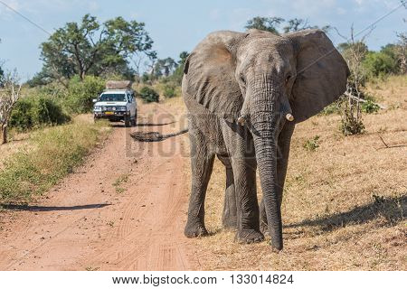 Elephant Before Jeep On Track Facing Camera