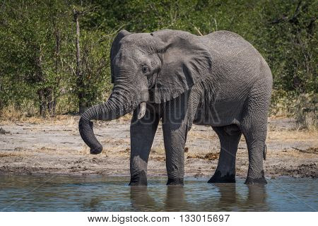 Elephant Drinking With Trunk Resting On Tusk