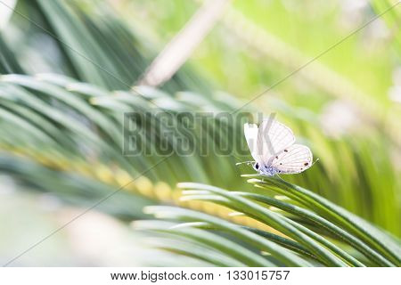 Holly blue in spring,Butterfly in spring time with blur background.