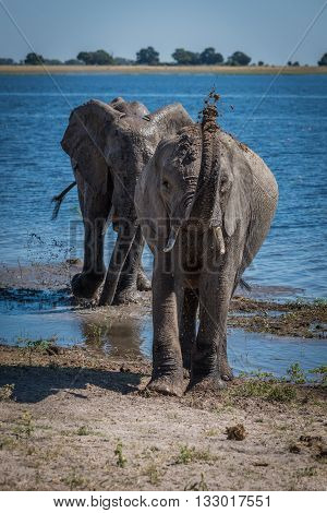 Elephant Throwing Mud Over Head Beside River
