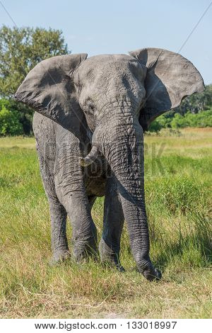 Elephant With Missing Tusk In Grassy Meadow