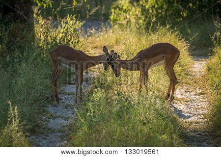 Female Impala Butting Heads In Dappled Sunlight